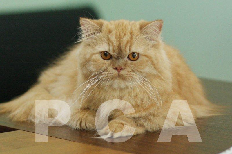 Все фото котов персидской породы