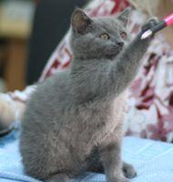 Британские котята и страйты