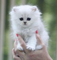 Персидские классические котята